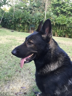 German Shepherd Working/Personal Protection Dogs for Sale!