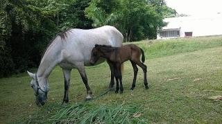 Dos caballos por $500 (yegua y potrito)