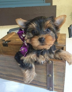 Cute and Adorable Yorkie Puppies Ready!!