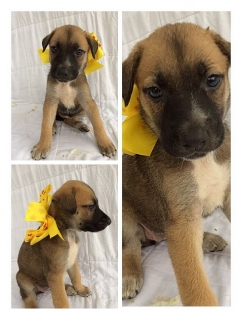 Se regalan puppies tienen 2 meses y necesitan hogares ya! son german Shepard mix.